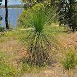 Images & Illustrations of grass tree