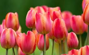 Картинки по запросу тюльпаны фото