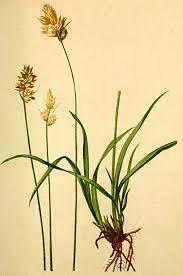 Carex lachenalii - Wikispecies
