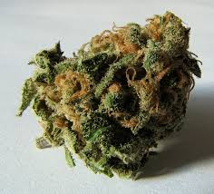 marijuana josiah hesse cu s cannabis genome research initiative takes pot science to new heights