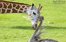 صور حيوانات اليفة images?q=tbn:ANd9GcR