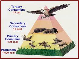 energy pyramid definition   life free energybiomass pyramid definition biology
