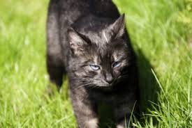 Image result for black cat with blue eyes