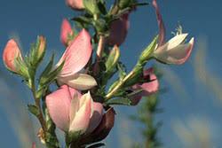 Restharrow (Spiny Restharrow - Ononis spinosa L.) - Medicinal ...