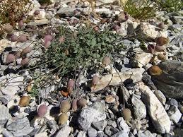 Silene vulgaris subsp. prostrata (Gaudin) Schinz & Thell. {ID 7334 ...