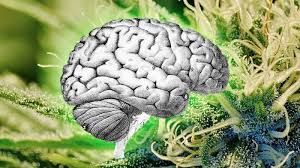 Výsledek obrázku pro CBD magazin legalizace