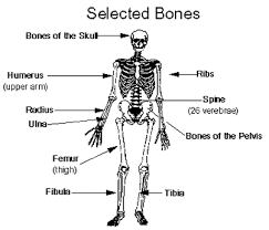 diagram   skeletal systempicture