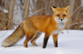 Imagini pentru fox