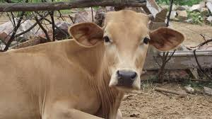 Image result for save a cow dhyan foundation