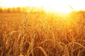 Image result for wheat pictures