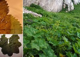 Alchemilla straminea Buser - Portale sulla flora del Parco Naturale ...