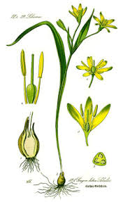 Gagea lutea Yellow Star Of Bethlehem PFAF Plant Database