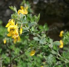 Cytisus villosus - Wikipedia