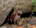 Images & Illustrations of mink
