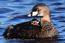 Image result for baby grebe