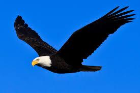 Bald <b>Eagle</b> - Channel Islands National Park (U.S. National Park ...