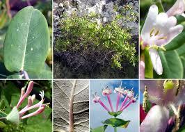 Lonicera implexa Aiton subsp. implexa - Guida alla flora degli stagni ...