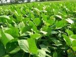 field bean