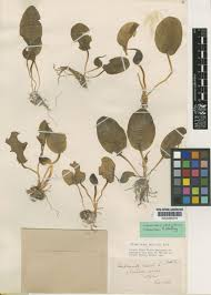 Ambrosinia bassii L. | Plants of the World Online | Kew Science