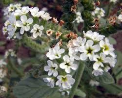 Heliotropium europaeum - Wikipedia