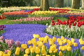 Resultado de imagen para tulipanes en holanda