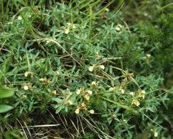 Teucrium montanum - Wikipedia