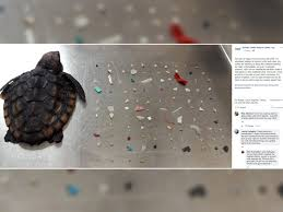 Baby turtle had more than <b>100 pieces of</b> plastic in stomach when it ...