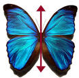 Images & Illustrations of bilateral symmetry