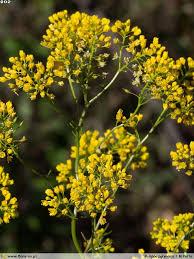 Rorippa pyrenaica | Flora-On