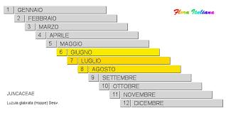 Luzula glabrata [Erba lucciola glabrescente] - Flora Italiana