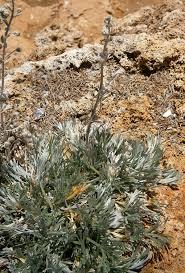 Artemisia genipi - Wikispecies