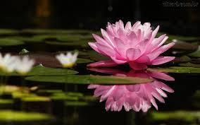 Resultado de imagem para foto flor de lotus