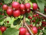 Images & Illustrations of crab apple