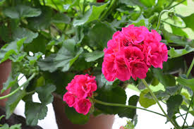 Geraniums: How to Plant, Grow, and Care for Geraniums | The Old ...
