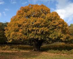 Image result for تک درخت بلوط