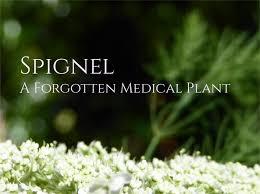 Spignel (Meum athamanticum), a Forgotten Medicinal Plant ...