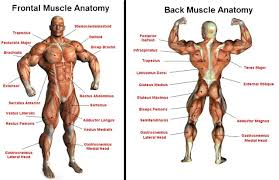 upper body muscle chart upper body muscle diagram anatomy human        upper body muscle chart human muscle page  anatomy body diagram