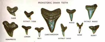 Image result for florida seashell identification