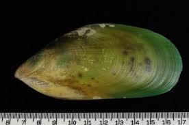 <b>New Zealand green-lipped</b> mussel | Marine Pests