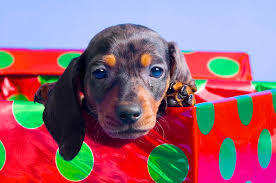 Image result for dachshund and christmas presents