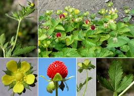 Potentilla indica (Andrews) Th.Wolf - Sistema informativo sulla flora ...