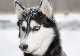How to Treat Snow <b>Nose</b> in Dogs