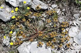 Euphorbia barrelieri - picture 3 - The Bulgarian flora online