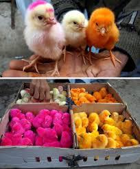 Risultati immagini per pulcini colorati