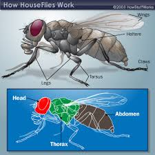 Image result for housefly images