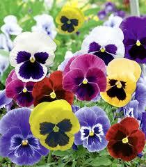"""Résultat de recherche d'images pour """"pensees fleurs"""""""