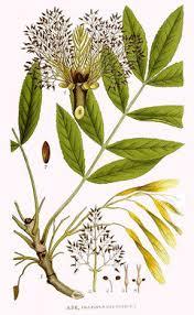 Fraxinus excelsior Ash, European ash, Common Ash PFAF Plant ...