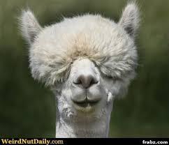 Dopey Llama Meme Generator - Captionator Caption Generator - Frabz via Relatably.com