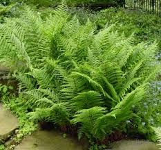 Image result for leatherwood fern