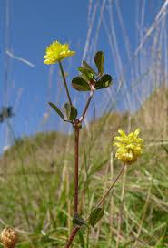Trifolium campestre - Wikipedia